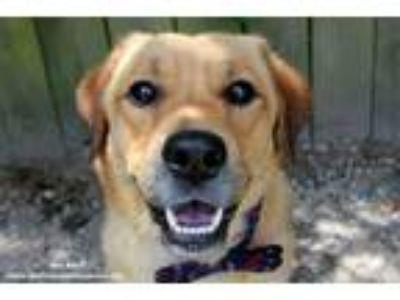 Adopt Boo Boo a Golden Retriever, Pembroke Welsh Corgi