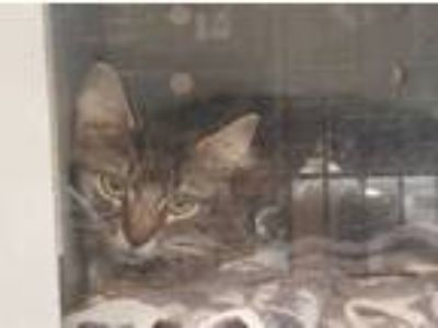 Adopt a Brown Tabby Maine Coon / Mixed (long coat) cat in Martinez