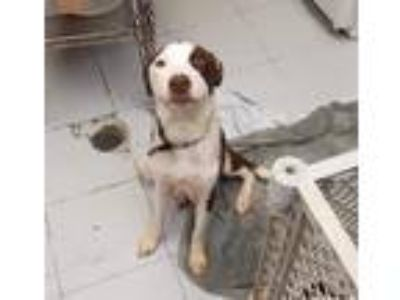 Adopt Darby a White - with Brown or Chocolate Labrador Retriever / Mixed dog in