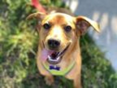 Adopt Zoey a Red/Golden/Orange/Chestnut Dachshund / Jack Russell Terrier dog in