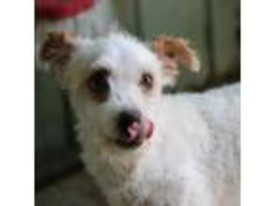 Adopt Curtis a Poodle