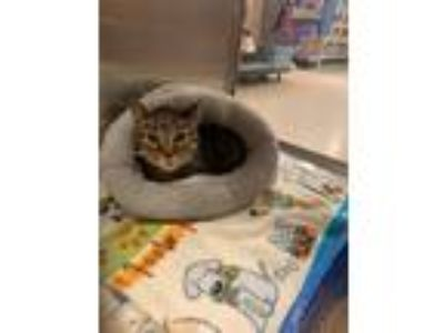 Adopt Pete the cat a Domestic Shorthair / Mixed cat in Allen, TX (25608803)
