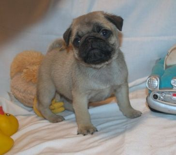 cute male and female pug puppies for adoption