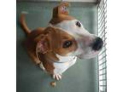 Adopt Roo a Brown/Chocolate American Pit Bull Terrier / Beagle / Mixed dog in