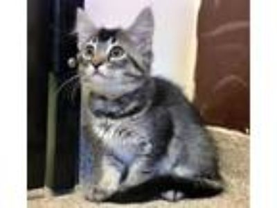 Adopt Kitten Itzy a Brown Tabby Domestic Shorthair / Mixed (short coat) cat in