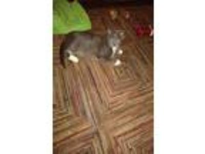 Adopt Grey a Gray or Blue American Shorthair (medium coat) cat in Hicksville
