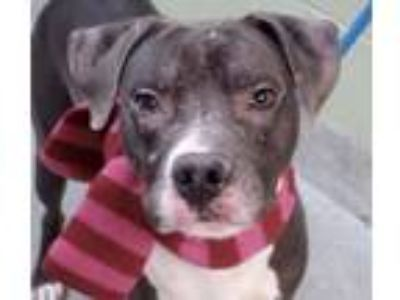 Adopt Desi a Gray/Silver/Salt & Pepper - with White Pit Bull Terrier / Mixed dog