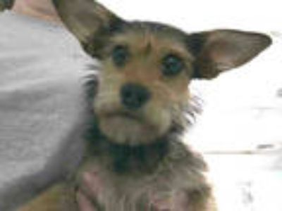 Adopt DOROTHY a Black - with Tan, Yellow or Fawn Cairn Terrier / Mixed dog in