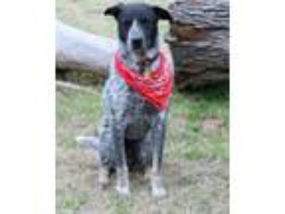 Adopt Scout a Australian Cattle Dog / Blue Heeler