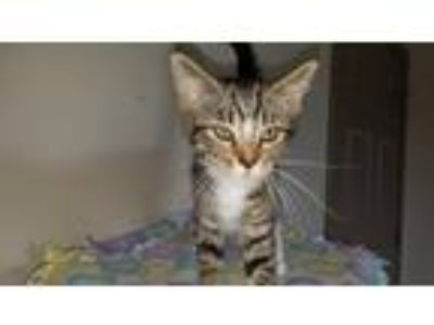 Adopt Molly a Brown Tabby Domestic Shorthair (short coat) cat in Blountville
