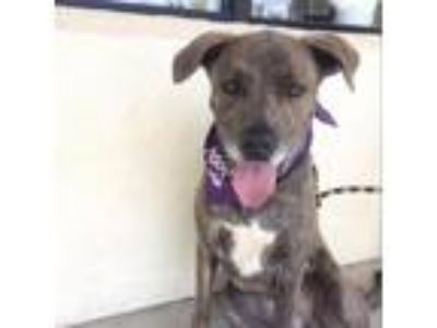 Adopt Roxy a Gray/Silver/Salt & Pepper - with Black Pit Bull Terrier / Great