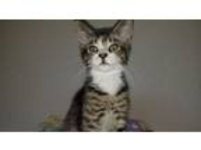 Adopt Mike a Brown Tabby Domestic Shorthair (short coat) cat in Blountville