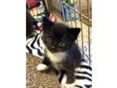 Adopt Tito a Black & White or Tuxedo Domestic Shorthair (short coat) cat in Toms