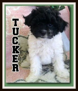 Tucker Male Shihpoo