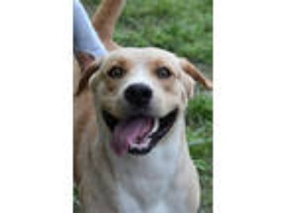 Adopt Butterscotch a Labrador Retriever, American Staffordshire Terrier