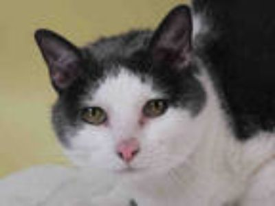 Adopt PUDDY a Gray or Blue (Mostly) Domestic Shorthair / Mixed (short coat) cat