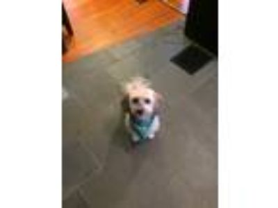 Adopt Bradley a White - with Gray or Silver Havanese / Mixed dog in Portland