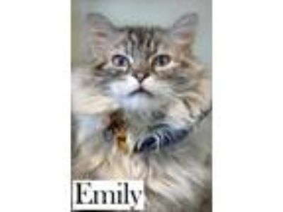 Adopt Emily a Cream or Ivory Domestic Longhair / Siamese / Mixed cat in