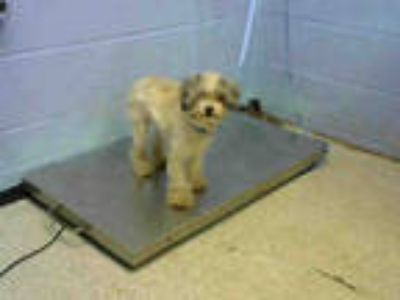 Adopt GEMMA a White - with Brown or Chocolate Poodle (Miniature) / Mixed dog in