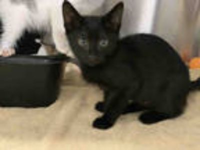 Adopt RYAN a Black (Mostly) Domestic Shorthair / Mixed (short coat) cat in