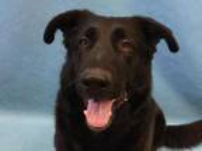 Adopt Amos a Black German Shepherd Dog / Mixed dog in Golden Valley