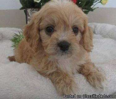 Eastpointe TSMK #! Cavapoo Puppies