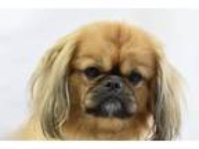 Adopt Bob a Pekingese / Mixed dog in Fort Worth, TX (25509070)