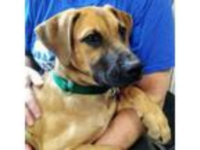 Adopt Marky a Red/Golden/Orange/Chestnut Mixed Breed (Large) / Mixed dog in