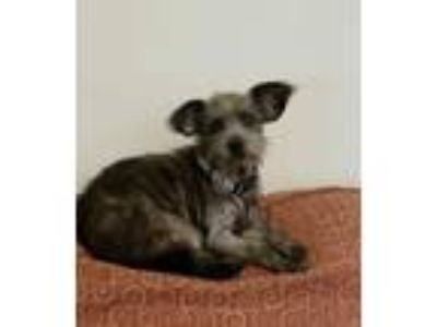 Adopt Millie a Wirehaired Terrier