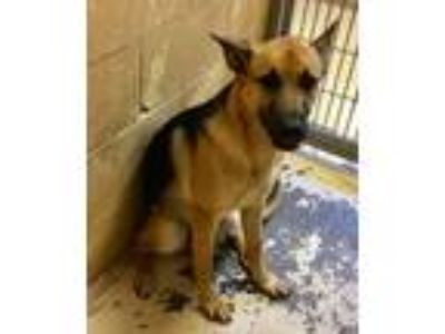 Adopt Virgo a German Shepherd Dog