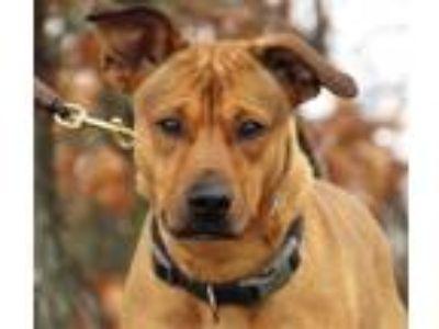 Adopt Serve a Labrador Retriever / Mixed dog in Osage Beach, MO (24331559)