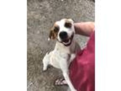 Adopt Keifer a White - with Red, Golden, Orange or Chestnut Pointer / Mixed dog
