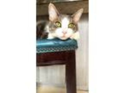 Adopt Mickey a Gray or Blue (Mostly) American Shorthair / Mixed cat in Ft