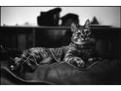 Adopt Ina a Brown Tabby American Shorthair / Mixed (short coat) cat in Brooklyn