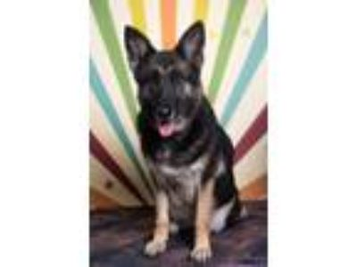 Adopt Journey a German Shepherd Dog