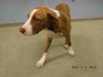 Adopt REY a Brown/Chocolate - with White Labrador Retriever / Mixed dog in