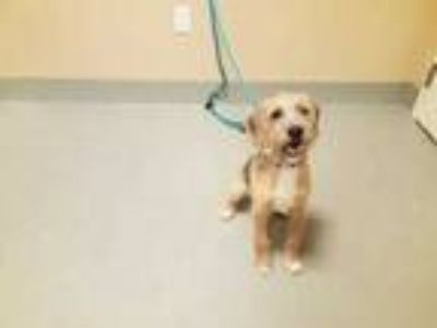Adopt Kenny a Tan/Yellow/Fawn Terrier (Unknown Type, Small) / Mixed dog in