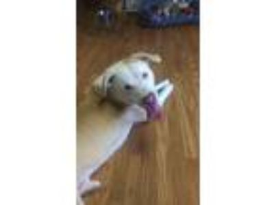 Adopt Axl a Pit Bull Terrier, Mixed Breed