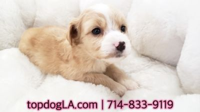Poodle (Standard)-Maltese Mix PUPPY FOR SALE ADN-71157 - Maltipoo Female Jeannie
