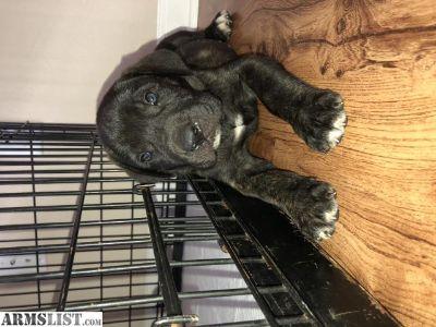 For Sale/Trade: English mastiff puppy