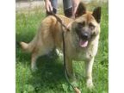 Adopt Dakota a Akita, German Shepherd Dog