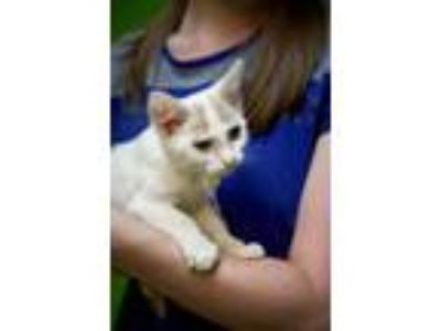 Adopt Daphne 31142 a White (Mostly) Domestic Shorthair / Mixed (short coat) cat
