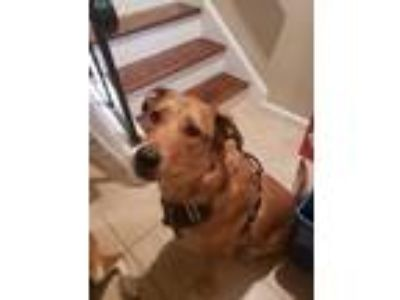 Adopt Leo is in VA a Tan/Yellow/Fawn - with White Labrador Retriever / Collie /