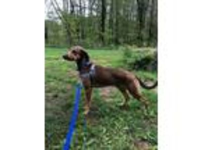 Adopt Denver a Hound, Mixed Breed