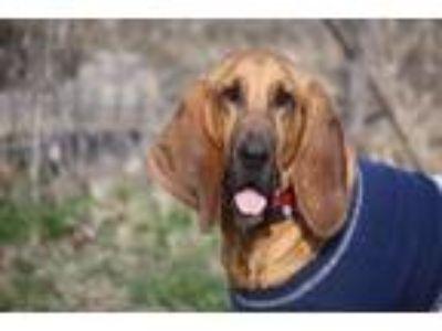 Adopt Tucker a Bloodhound