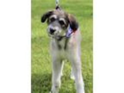 Adopt Bella a White - with Gray or Silver Sheltie, Shetland Sheepdog / Schnauzer