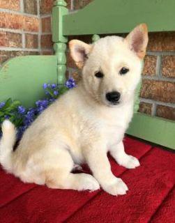 Shiba Inu PUPPY FOR SALE ADN-94285 - Purebred White Shiba Inu puppy LA SF