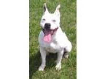 Adopt Maggie HW(-) a Pit Bull Terrier