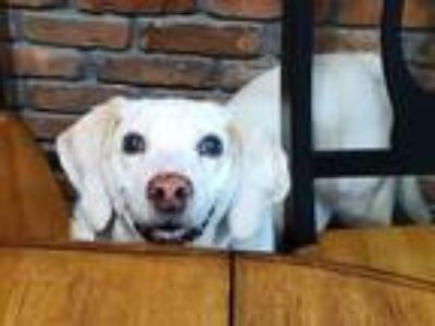 Adopt Angie a White - with Tan, Yellow or Fawn Beagle / Mixed dog in Caldwell