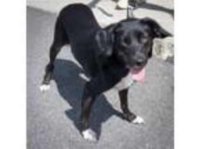 Adopt Everly a Black - with White Spaniel (Unknown Type) / Mixed dog in